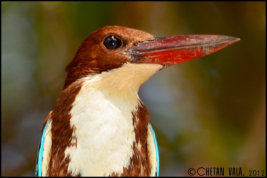 Photograph White Breasted KingFisher by chetan vala on 500px