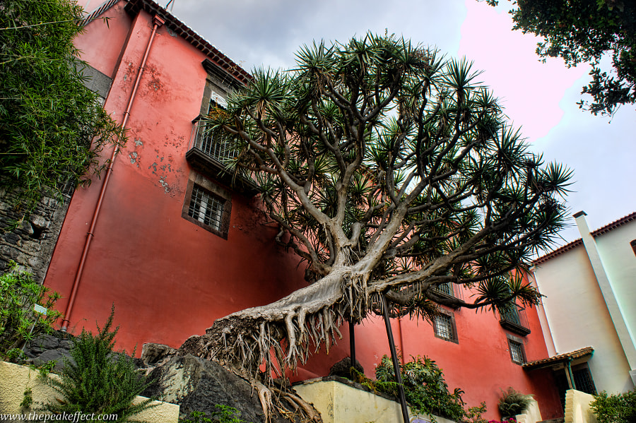 Photograph Dragon Tree by Donato Scarano on 500px