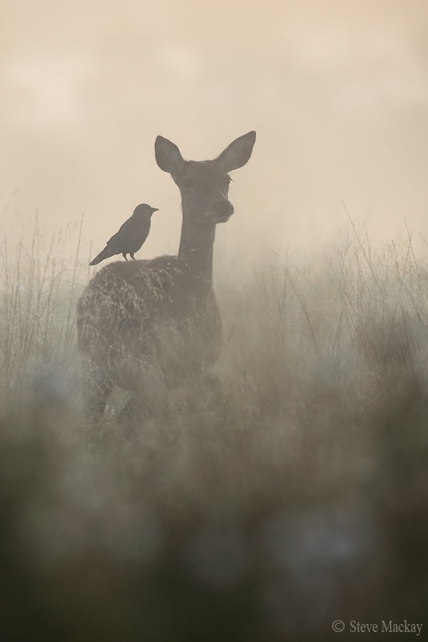 Photograph The Doe and the Jackdaw (part 2) by Steve Mackay on 500px
