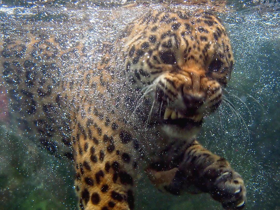 Photograph Up Close & Personal With Jaguar by Erfin Nugroho A.K.A erfin3000 on 500px