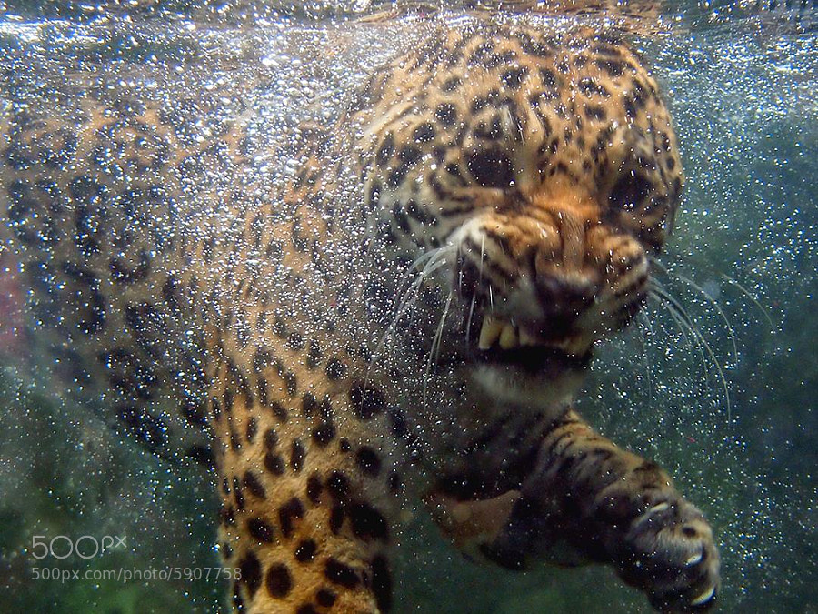 Up Close & Personal With Jaguar - The Cat Family Inspiring Photography