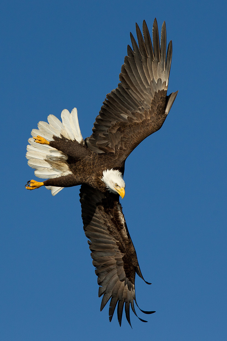 Photograph Bald Eagle banking by Charles Scheffold on 500px