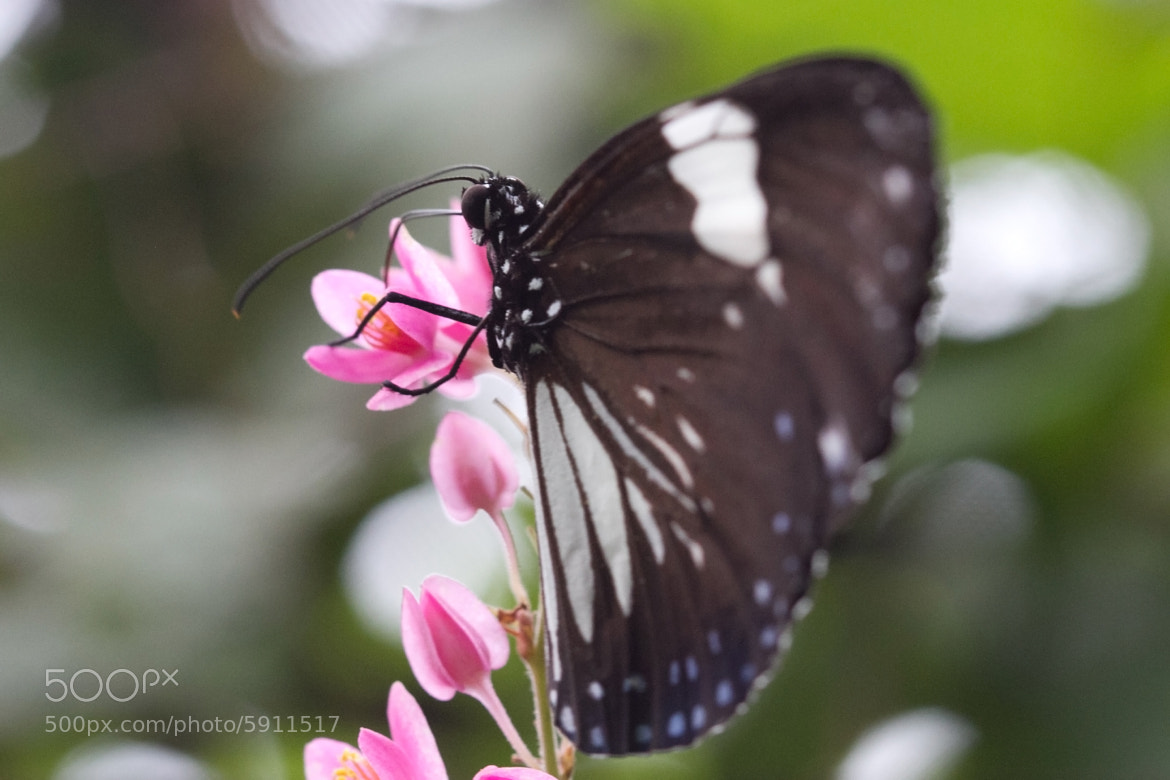 Photograph Butterfly on pink flower by Bharath Ravichandran on 500px