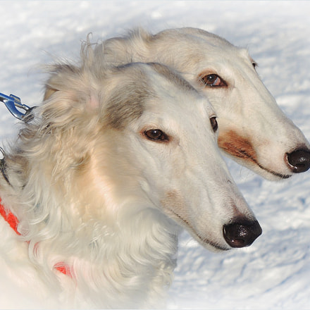 Borzoi dogs