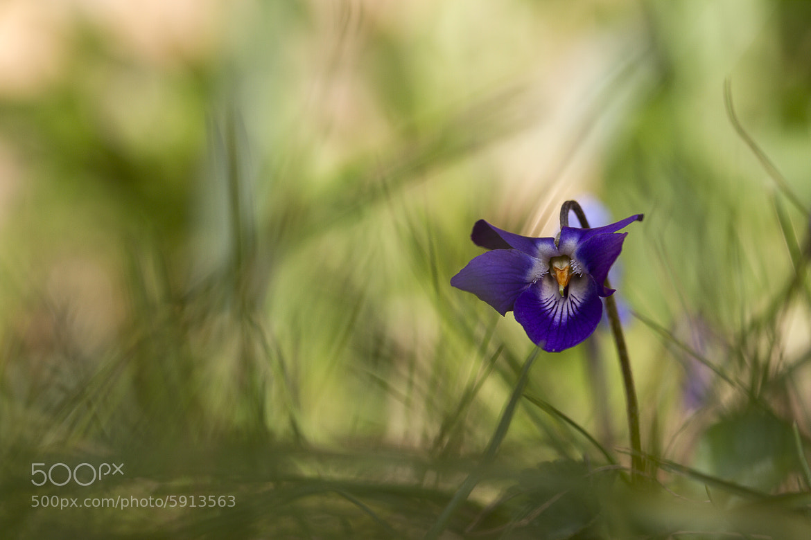 Photograph Shy violet by Benjamine Scalvenzi on 500px
