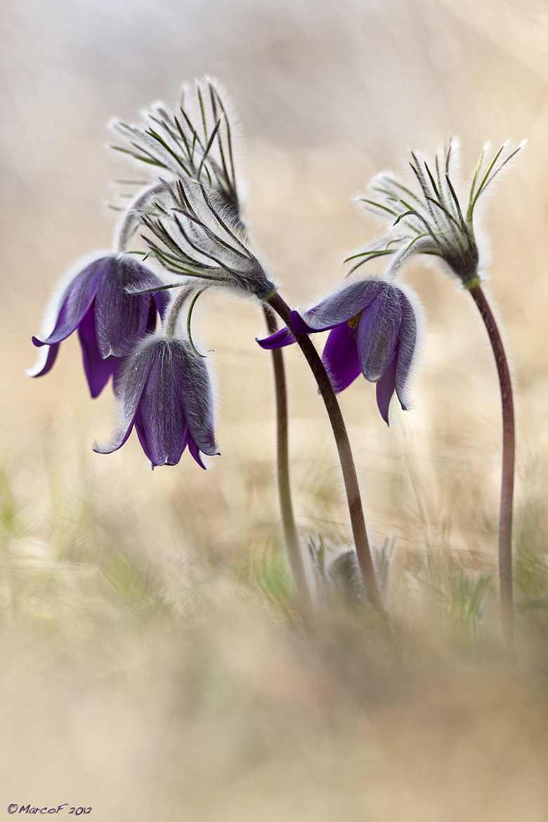 Photograph Pulsatilla montana by Marco Franzini on 500px
