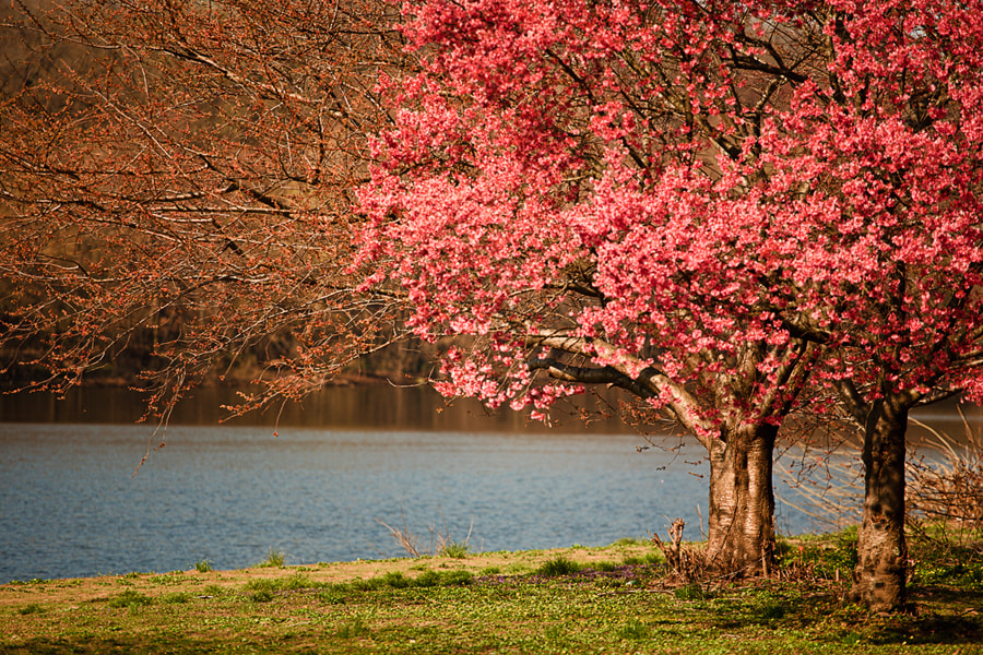 Photograph River Blossoms by Jack Booth on 500px