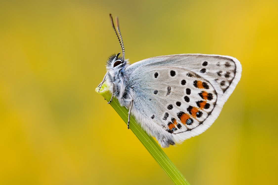 Photograph Silver-studded Blue by Gillian Thompson on 500px