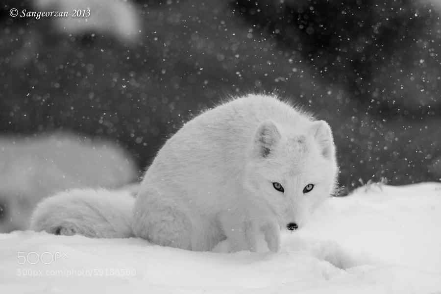 Photograph Fox Eyes by Paul Sangeorzan on 500px