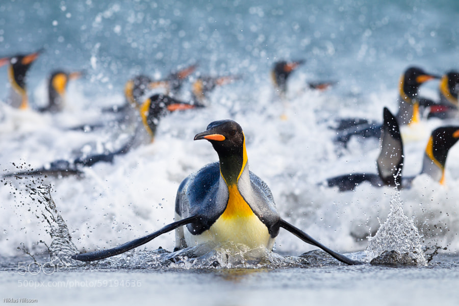 Photograph Surfing Penguin by Niklas Nilsson on 500px