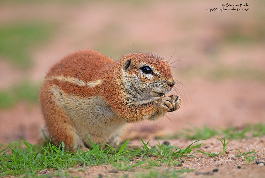 Photograph Ground Squirel by Stephen Earle on 500px
