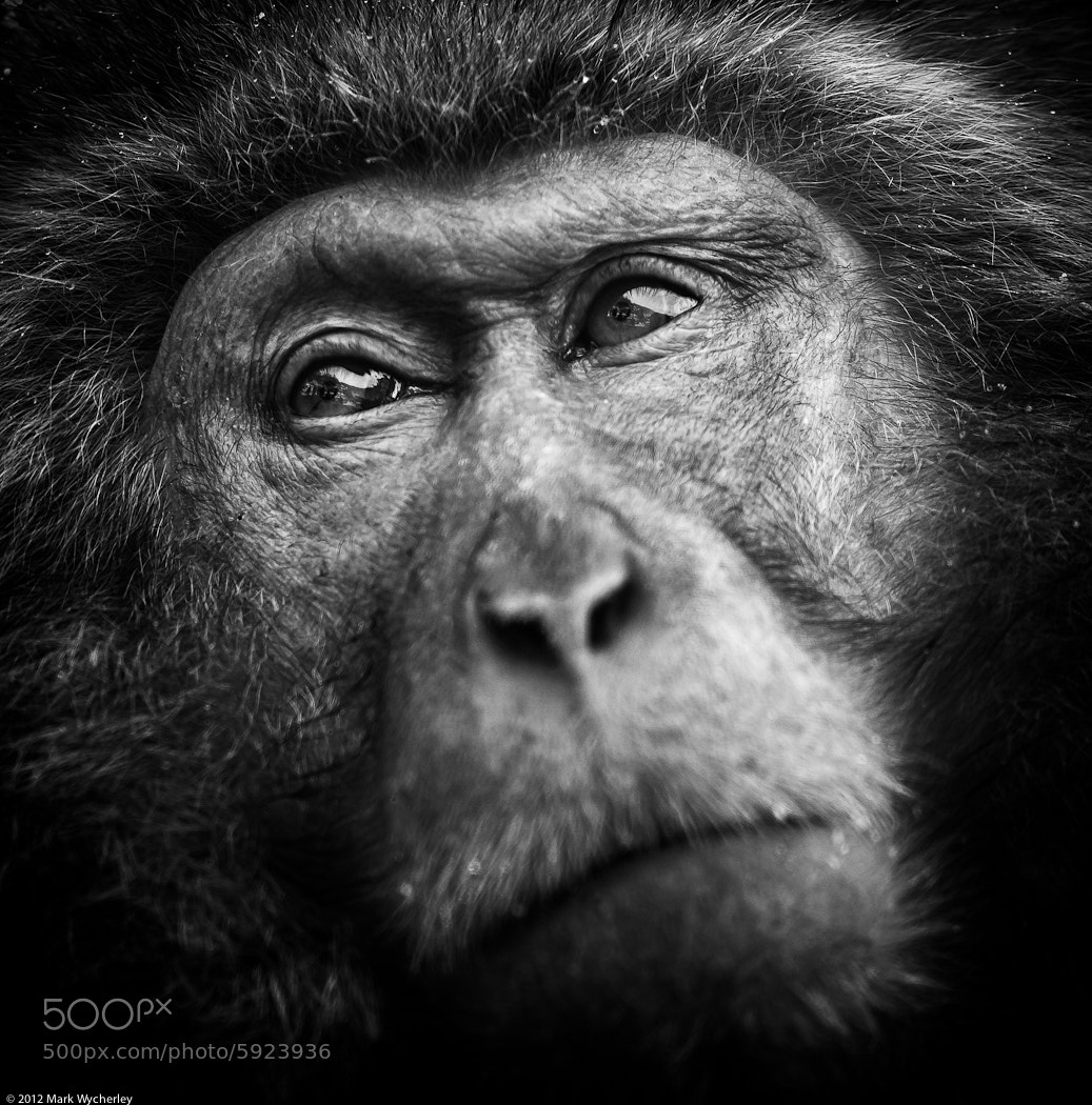 Photograph What's in the mind of a monkey? by Mark Wycherley on 500px