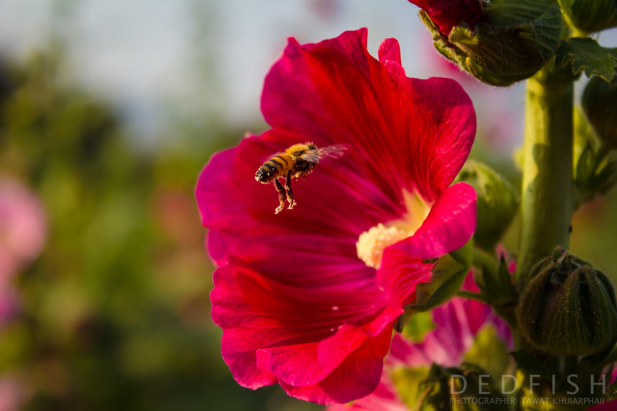 Photograph Bee and flower by Titanium Khuiarphai on 500px