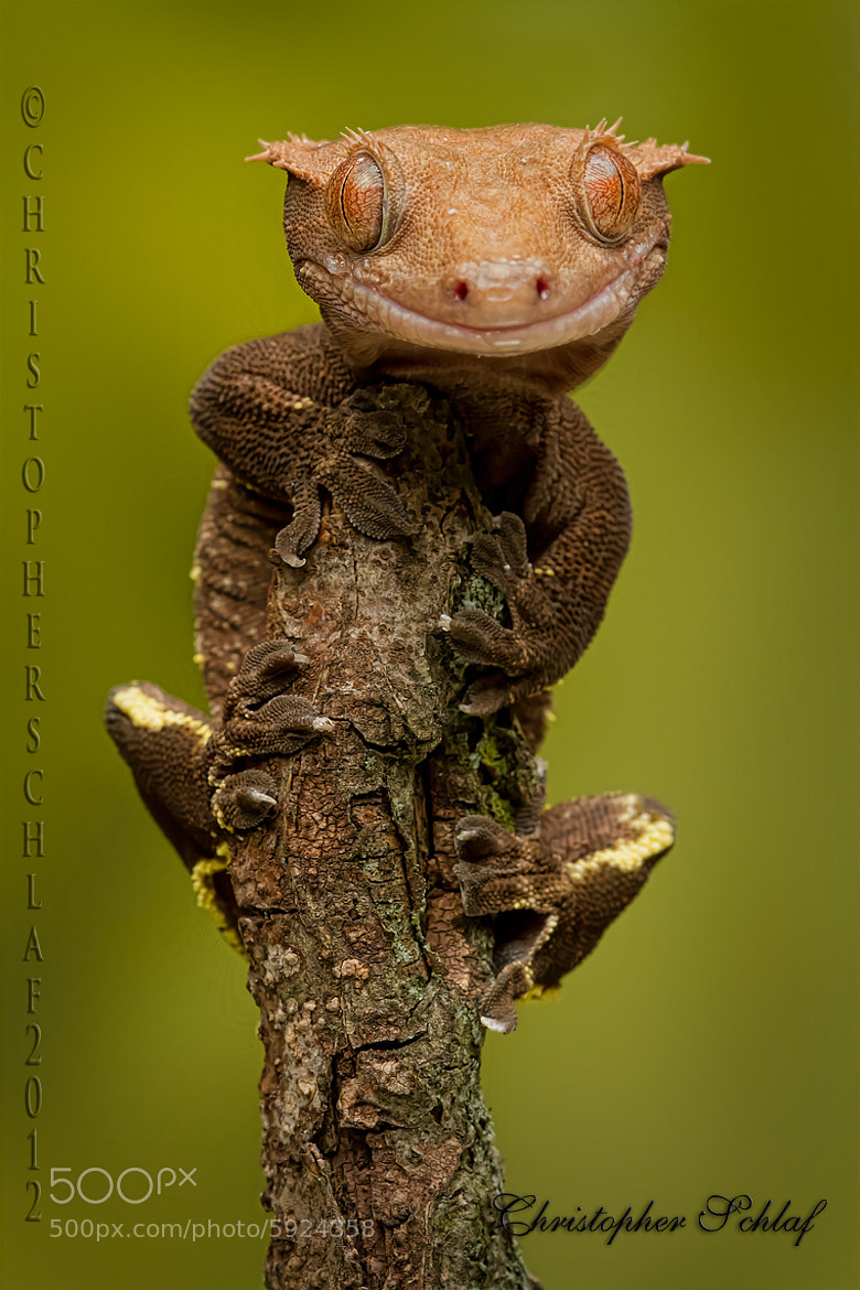 Photograph Mr Gecko by CHRISTOPHER SCHLAF on 500px