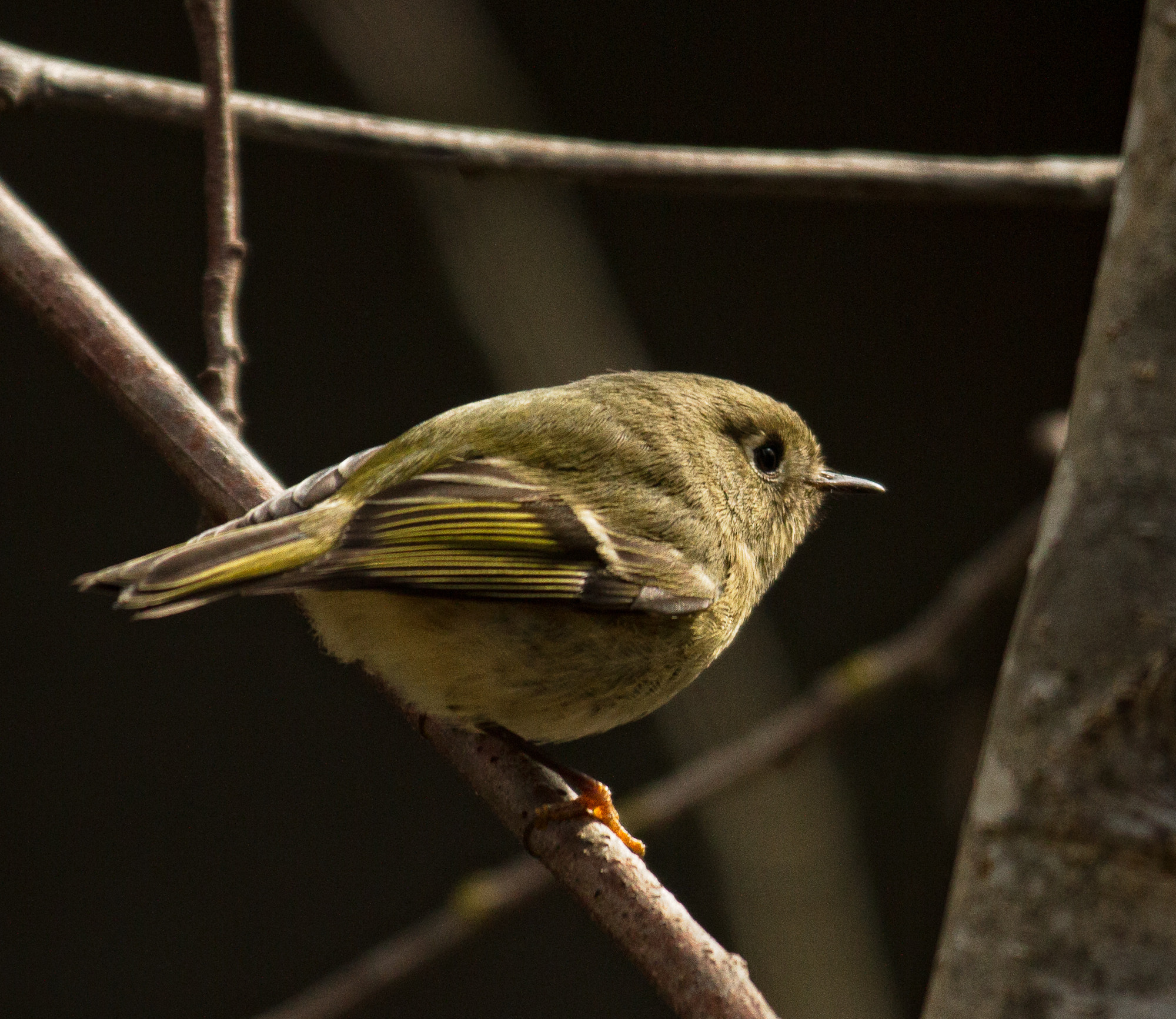 Photograph Orange-crowned warbler by Joseph Calev on 500px