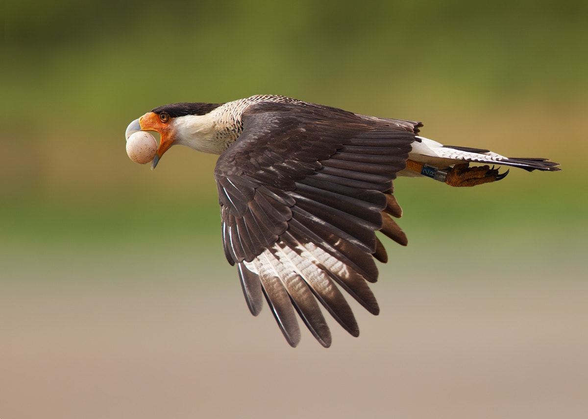 Photograph Stop Thief! - Caracara by Ron Bielefeld on 500px