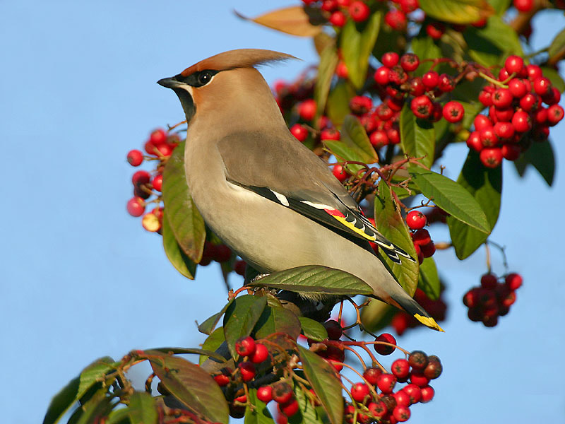 Photograph Bohemian Waxwing  by Aat Bender on 500px