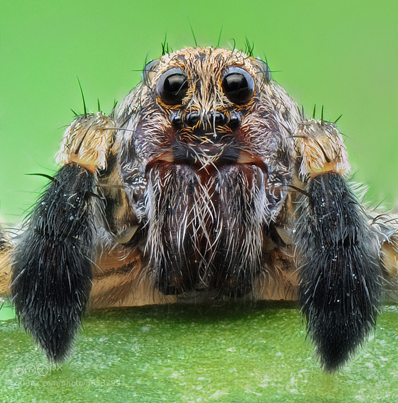 Photograph Wolf Spider by soheil shahbazi on 500px