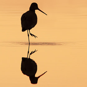 Godwit Silhouette by Steve Mackay (stevemackayphotography) on 500px.com