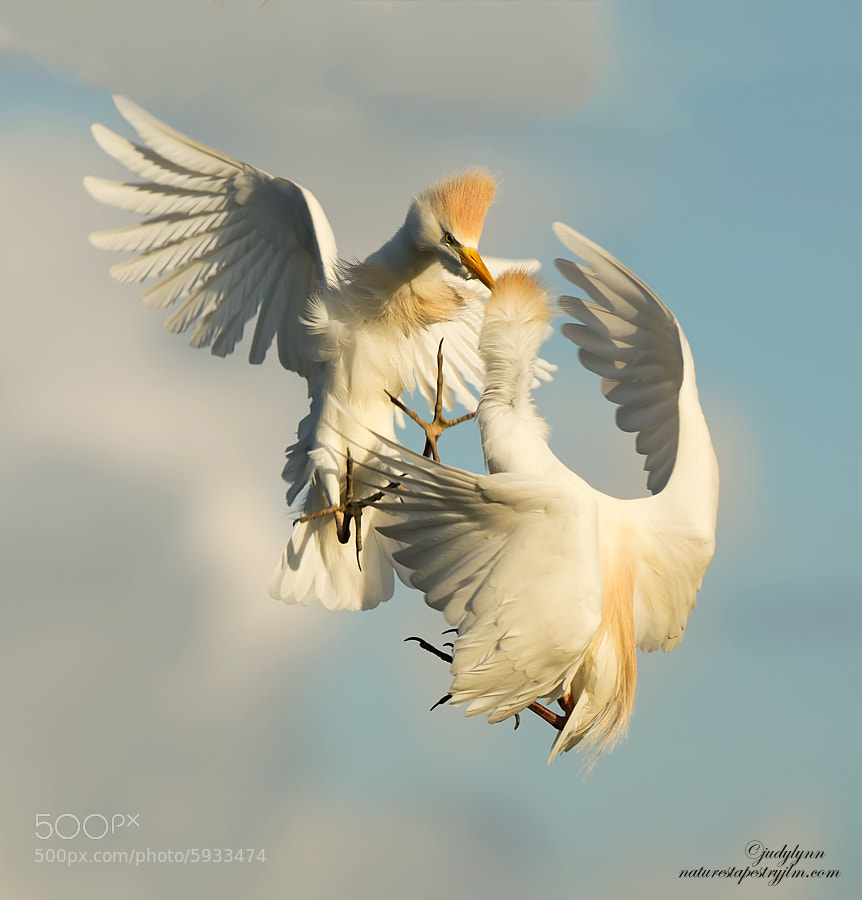 Photograph Cattle Egrets Battling It Out by Judylynn Malloch on 500px
