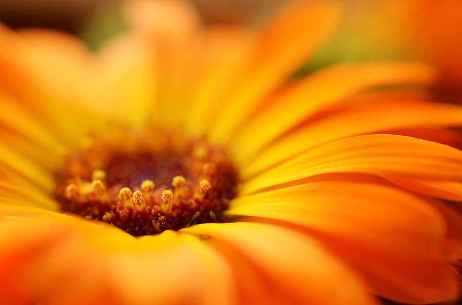 Details of a Marigold Blossom by Cornelia Schütz on 500px.com