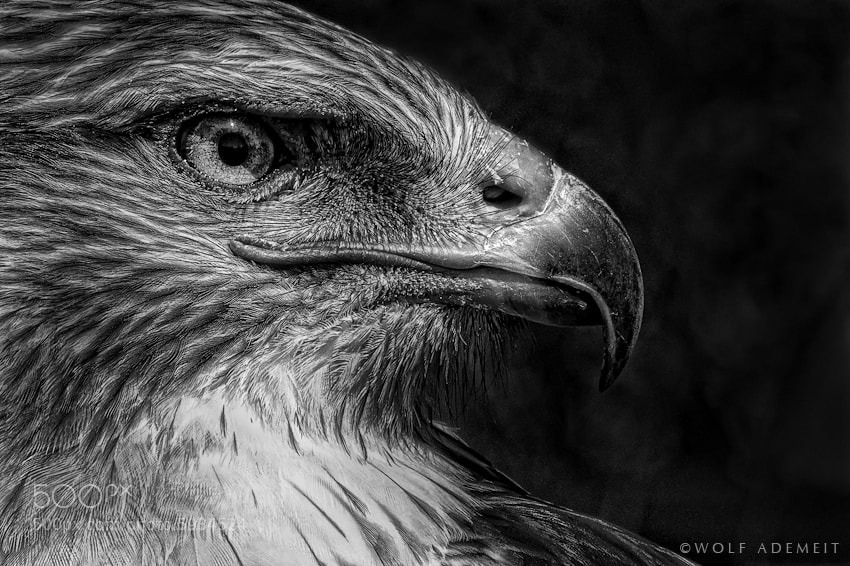 Photograph BIRD OF PREY by Wolf Ademeit on 500px