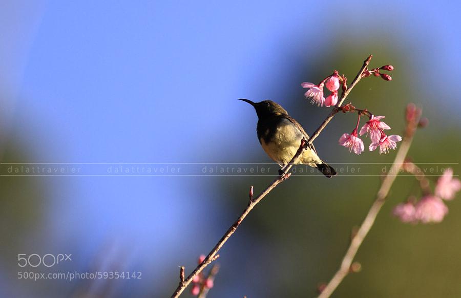 Photograph Bird & Sakura by Dalat Traveler on 500px