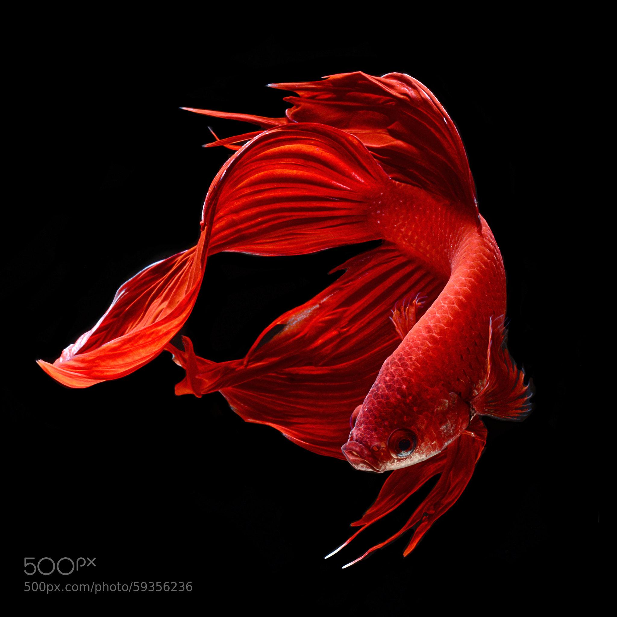 Red siamese fighting fish betta splendens by visarute for Red betta fish