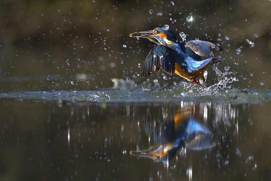 Kingfisher reflection by Marco Redaelli on 500px.com