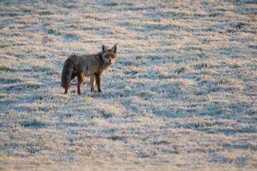 Fox | Fuchs