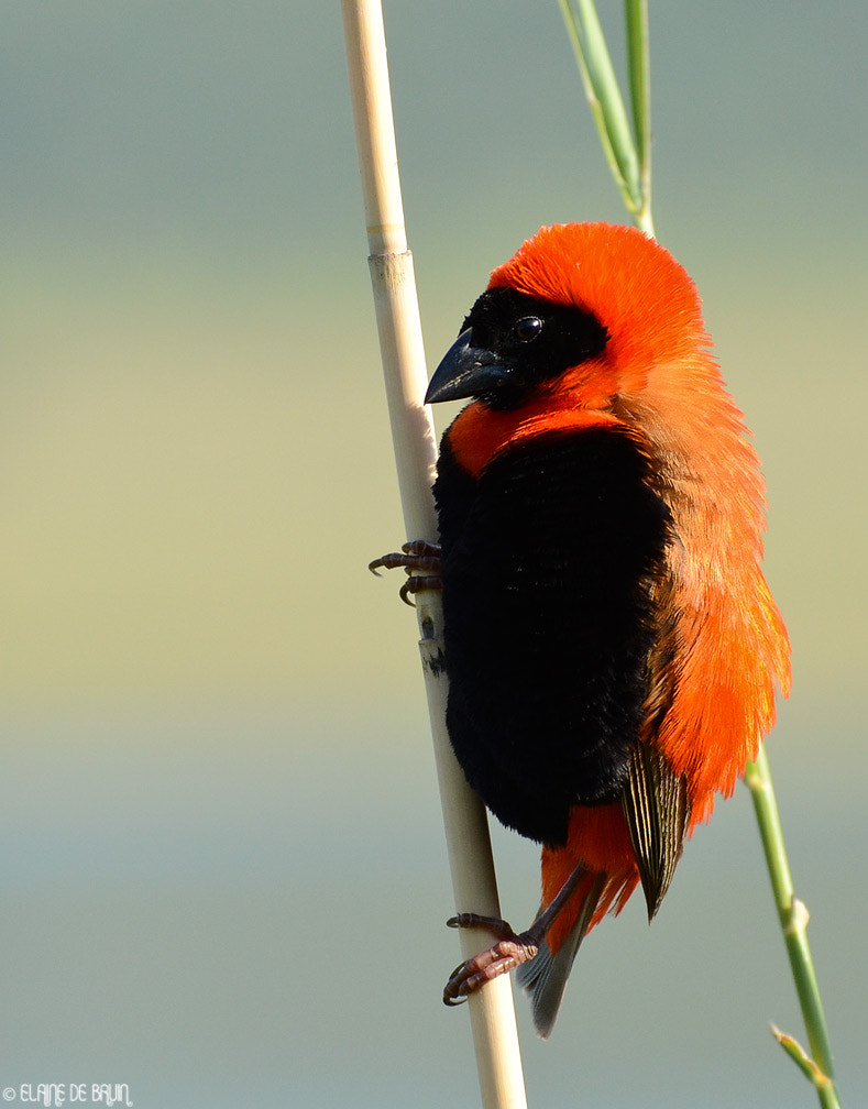 Photograph Red Bishop by Elaine  de Bruin on 500px