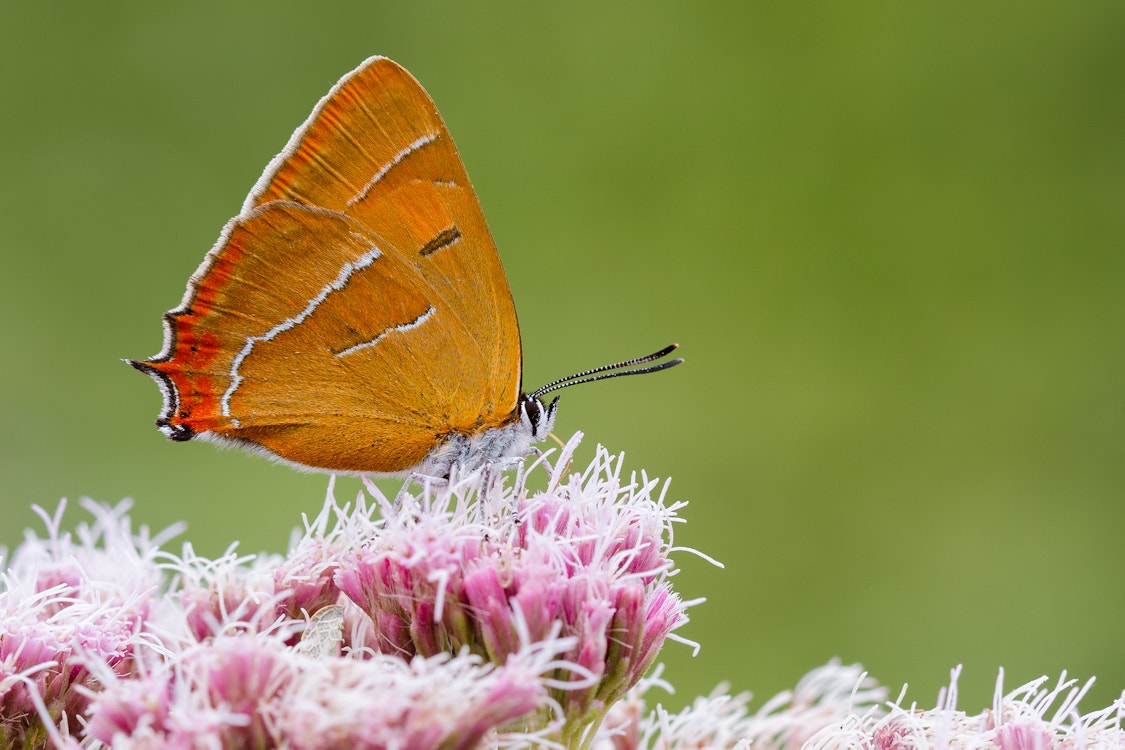 Photograph Brown Hairstreak by Gillian Thompson on 500px