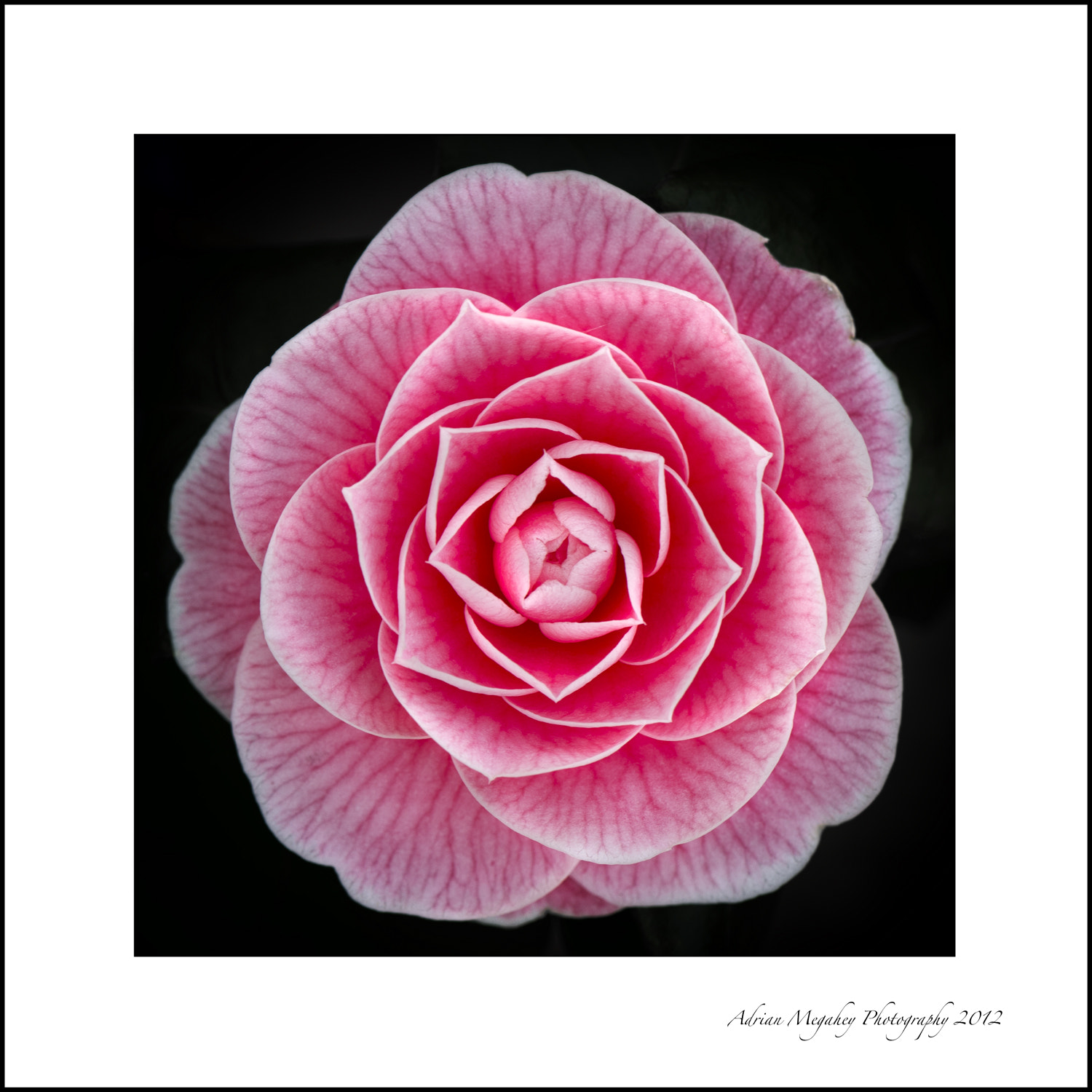 Photograph Camellia by adrian megahey on 500px