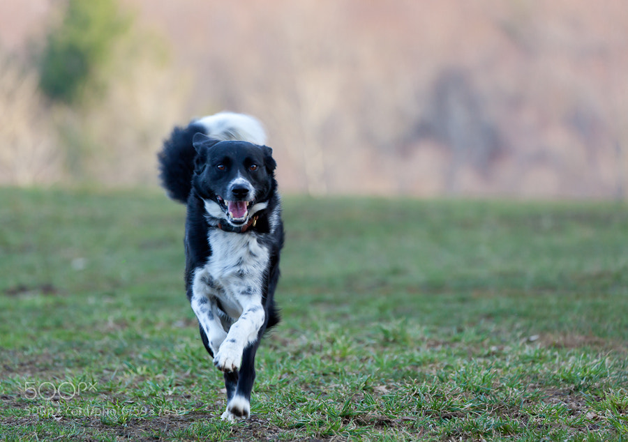 Photograph Pepper the Dog, West Newbury, Massachusetts. by Stanton Champion on 500px
