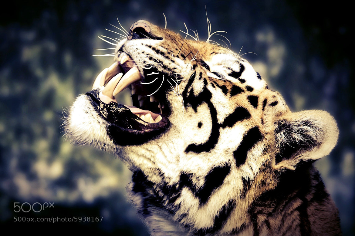 Photograph Tiger by Hubertus Theile on 500px