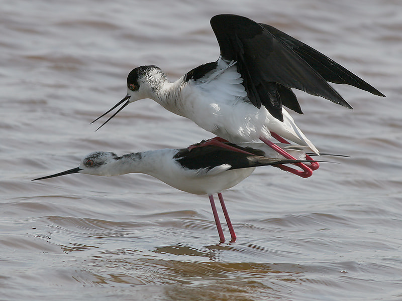Photograph Mating Black winged Stilts  by Aat Bender on 500px