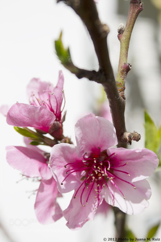 Photograph Flores de almendro/ Almond Blossom by Juana Maria Ruiz on 500px