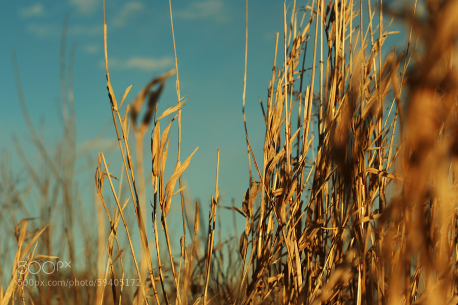 Prairie Grass in January (Des Moines River) by Jeff Carter on 500px.com