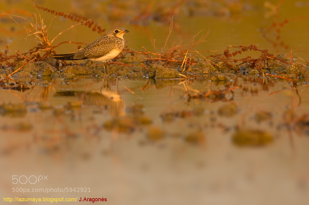 Photograph Collared pratincole (Glareola pratincola) by Juan  Aragonés on 500px
