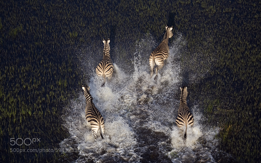 Photograph Zebras from above. by Stephan Tuengler on 500px
