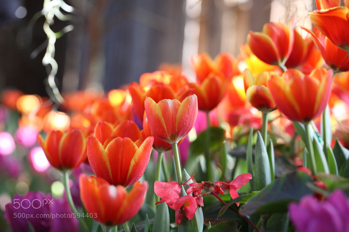 Photograph Tulip flowers by Oran Tantapakul on 500px