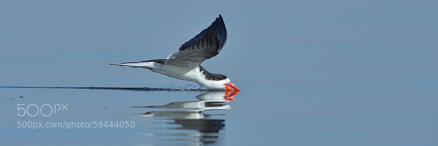 Photograph African Skimmer by Neal Cooper on 500px