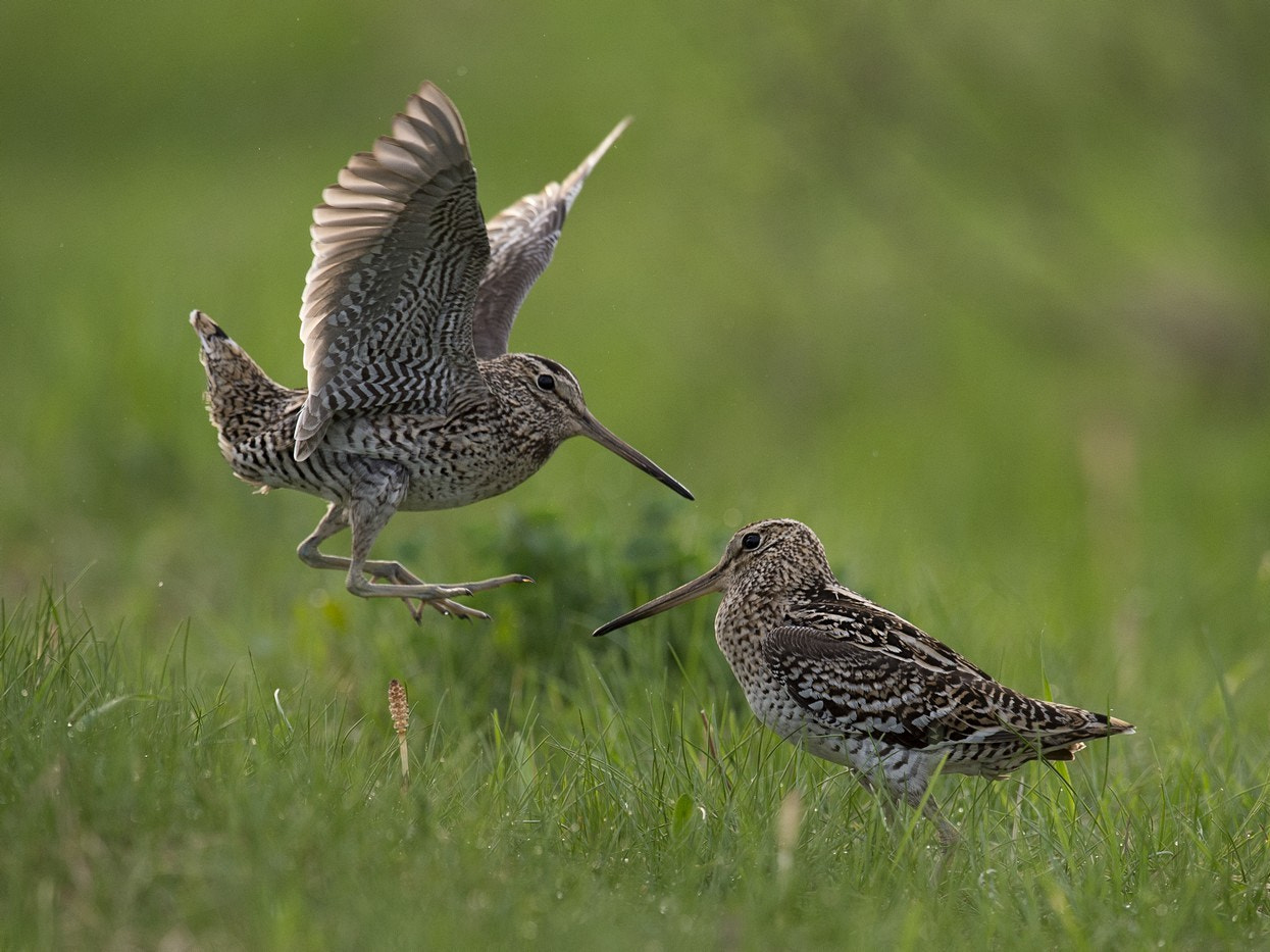 Photograph Great snipes by Sergey Ivanov on 500px