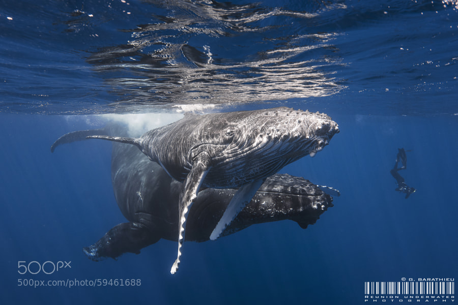 Photograph Humpback!!!! by Gaby Barathieu on 500px