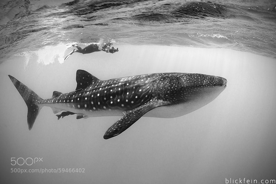 Photograph whaleshark by Christian Schlamann on 500px