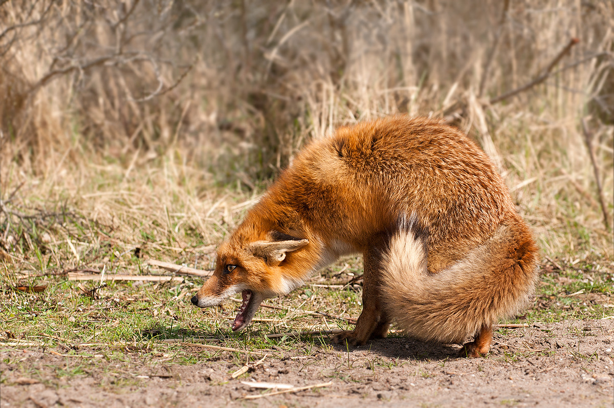 Photograph Scared Fox by Rob Janné on 500px