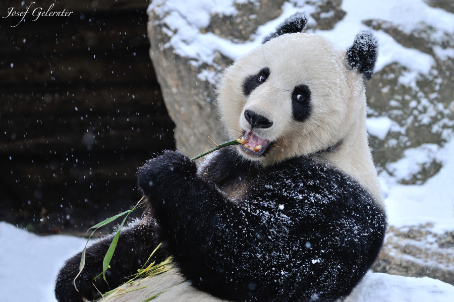 Photograph Say Cheese Snowy Panda !!! by Josef Gelernter on 500px