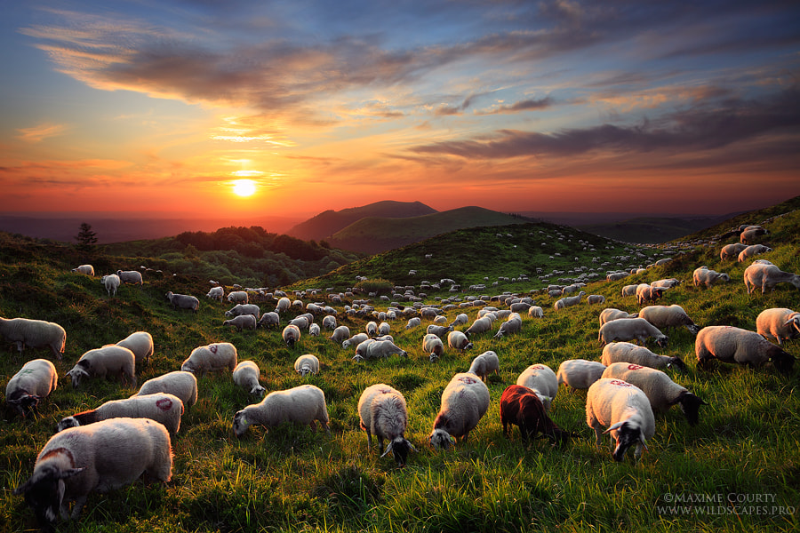 Photograph A Sunset with the Sheep by Maxime Courty on 500px