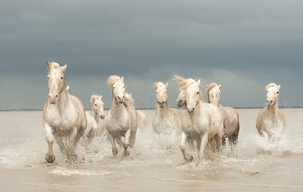 Photograph Camargue Horses Galloping through the Sea by Jenni Alexander on 500px