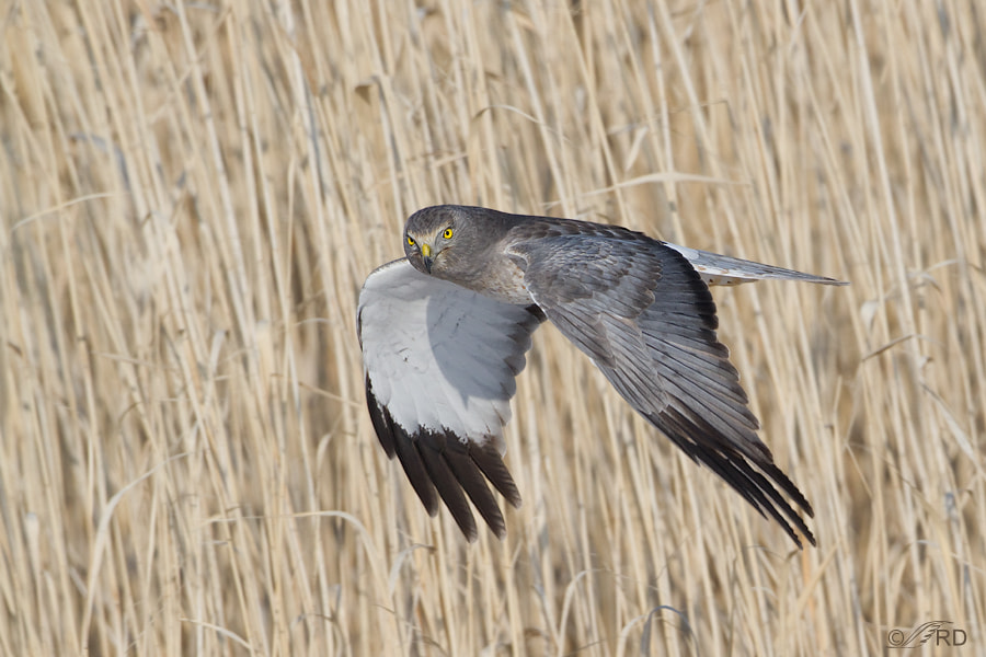 Photograph Male Northern Harrier  by Ron Dudley on 500px